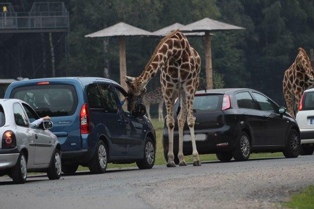 giraffen-1