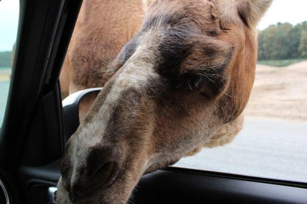 kamel-im-auto