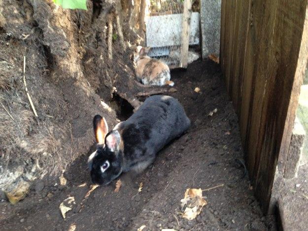 grabende-kaninchen