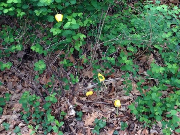 tote-tulpen