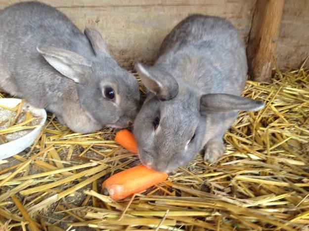 graue-kaninchen
