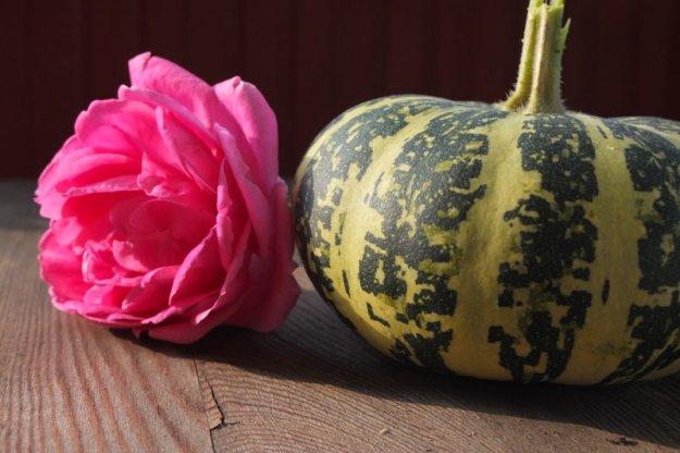 zierkuerbis-mit-rose
