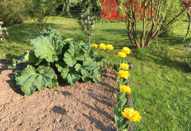 aufgebluehte-tulpen.jpg
