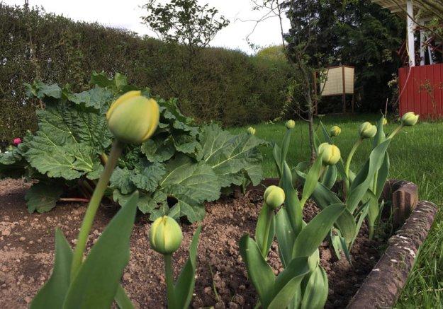 tulpen-im-garten