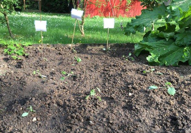 junge-kohlrabipflanzen