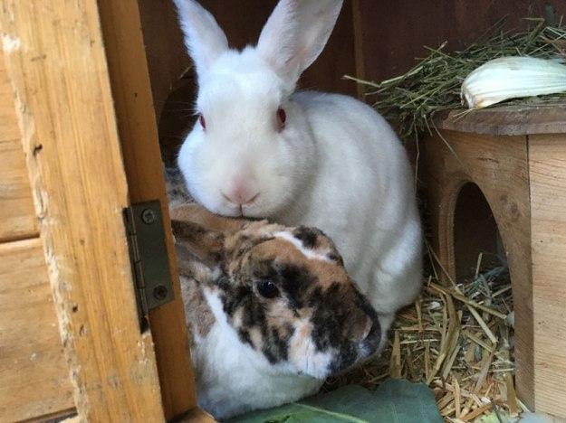 zwei-kaninchen
