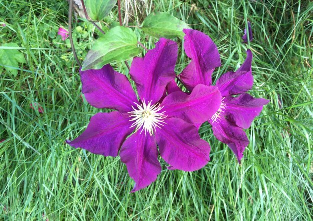 lila-clematis